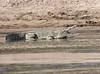 Nile Crocodile Selous