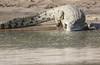 Nile Crocodile Western Serengeti Tanzania