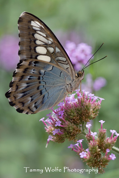 Clipper (Parthenos sylvia) Butterfly