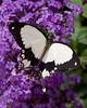 Mocker Swallowtail Butterfly (Papilio dardanus)