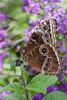 Blue Morpho (Morpho peleides) Butterfly
