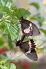 Pink Cattleheart (Parides iphidamas) Butterfly