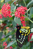 Birdwing (Ornithoptera priamus) Butterfly