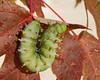 Cecropia moth caterpillar (Hyalophora cecropia)
