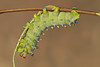 Cecropia moth (Hyalophora cecropia) Caterpillar