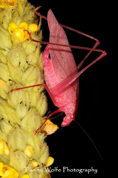 Oblong-Winged katydid (Amblycorypha oblongifolia), Pink Morph
