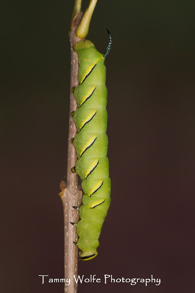 Laurel Sphinx Caterpillar (Sphinx kalmiae)