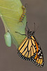 Monarch Butterfly (Danaus plexippus), Three Stages*