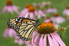 Monarch Butterfly (Danaus plexippus) on Coneflower