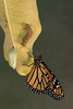 Monarch Butterfly (Danaus plexippus), Three / Four Stages*