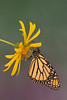 Monarch Butterfly (Danaus plexippus)*
