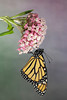 Monarch Butterfly (Danaus plexippus) that just emerged from a chrysalis
