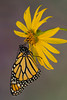 Monarch Butterfly (Danaus plexippus), Newly emerged*
