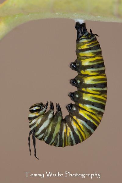 Monarch Caterpillar (Danaus plexippus), fifth instar preparing to pupate.