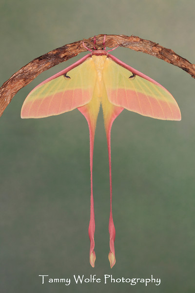 Chinese Luna moth (Actias dubernardi)*