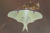 Newly eclosed Luna moth (Actias luna) hanging on a coccoon