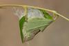 Luna moth cocoon (Actias luna)