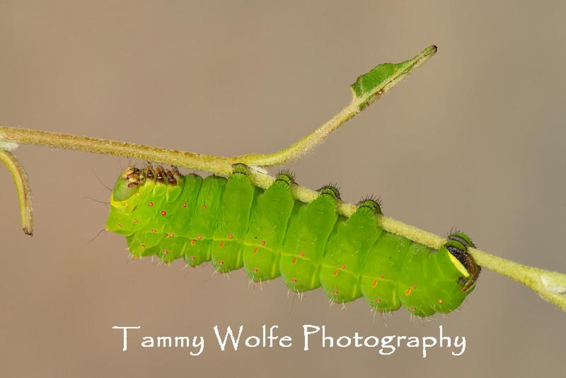 Luna moth caterpillar (Actias luna)