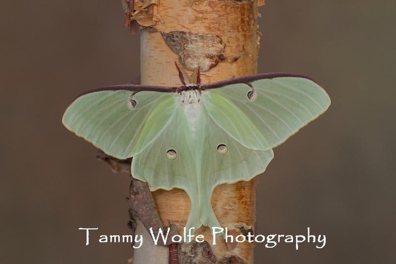 Luna moth (Actias luna), Adult Stage*
