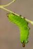 Luna moth caterpillar (Actias luna), emptying its gut as it prepares to make a cocoon
