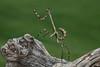 Phyllovates chlorophaea (Texas Unicorn Mantis)