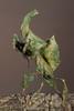 Ghost Mantis (Phyllocrania paradoxa) holding Prey