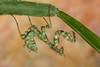 Thistle Mantis (Blepharopsis mendica), Green nymph