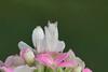 Female Orchid Mantis (Hymenopus coronatus)