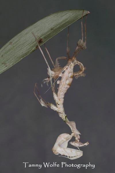 Molting Devil's Flower Mantis (Idolomantis diabolica)
