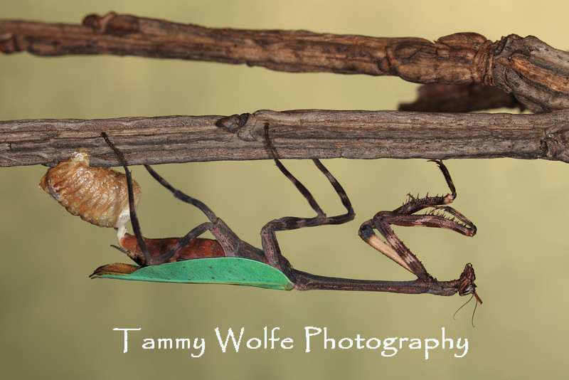 Phyllovates chlorophaea (Texas Unicorn Mantis), Female Laying an Ootheca