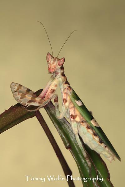 Asian Flower Mantis (Creobroter sp.), Adult Female