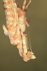 Thistle Mantis (Blepharopsis mendica), Female Molting to Adult