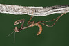 Phyllovates chlorophaea (Texas Unicorn Mantis), L1 nymph