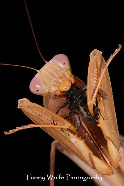 Blue Flash Mantis (Sphodromantis sp.) eating a Blue Bottle Fly
