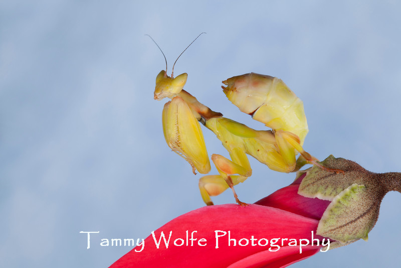 Yellow Orchid (Parymenopus davisoni)