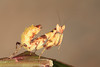 Asian Flower Mantis (Creobroter sp.) Nymph