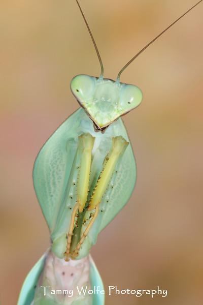 Shield Mantis (Rhombodera cf. stalli)