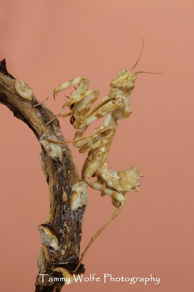 Devil's Flower Mantis (Blepharopsis mendica)