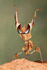 Devil's Flower Mantis (Idolomantis diabolica) Threat Display