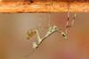 Hierodula bipapilla