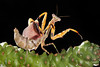 Female Budwing Mantis (Parasphendale agrionina) in Threat Display