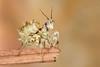 Spiny Flower Mantis (Pseudocreobotra wahlbergii), L5 nymph