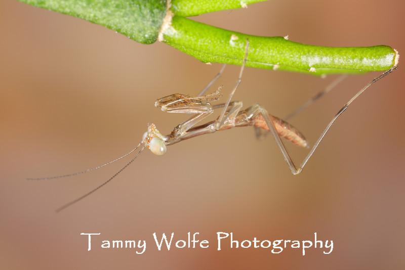 Shield Mantis (Rhombodera cf. stalli), L1 nymph