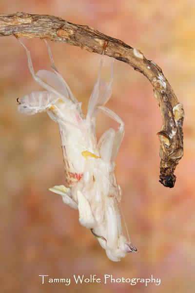 Orchid Mantis (Hymenopus coronatus), Female Molting to Adult