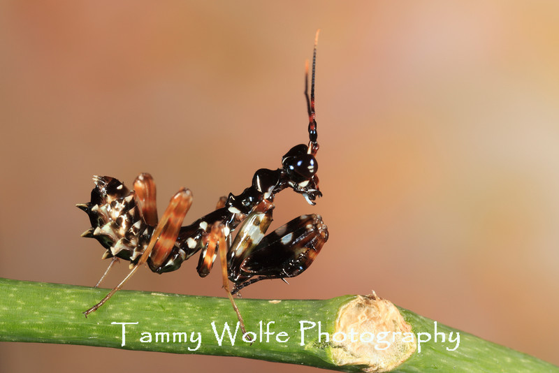 Spiny Flower Mantis (Pseudocreobotra wahlbergii), L3 nymph