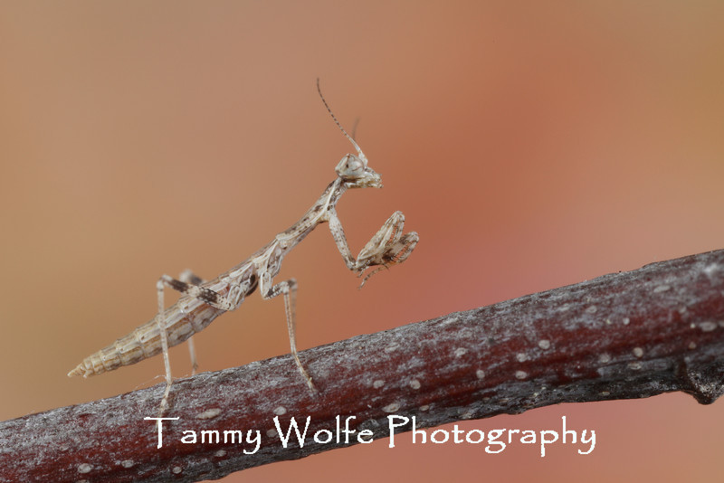 North African Grass Mantis (Oxyothespis dumonti), L1 nymph