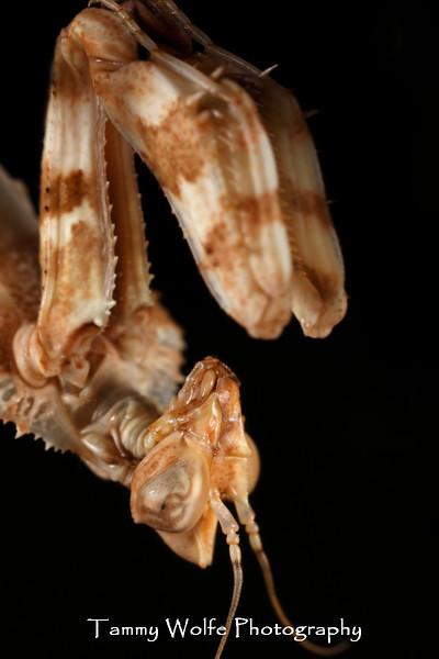 Devil's Flower Mantis Portrait (Blepharopsis mendica)