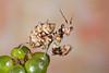 Spiny Flower Mantis (Pseudocreobotra wahlbergii). L4 Nymph