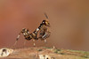 Thistle Mantis (Blepharopsis mendica), L1 nymph
