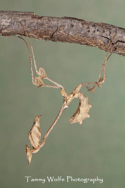 Violin Mantis (Gongylus gongylodes)